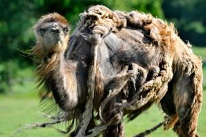 potd-camel_3349231k